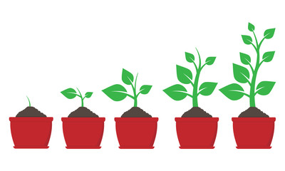 Growth of plant in pot. Vector illustration.