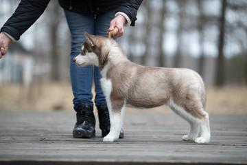 Cute puppy Siberian husky on the ground