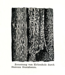 Wood damage caused by Xylobolus frustulatus (from Meyers Lexikon, 1896, 13/790/791)