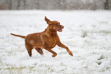 Fototapete - Beautiful Vizsla dog running in the snow