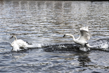 Swans swim and play in a water