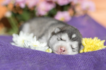 Cute Puppy Alaskan Malamute 5 days