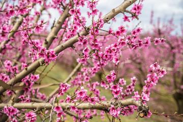 Blossoming peach trees in Aitona,  Catalonia, Spain