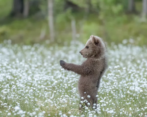 Brown bear cub  standing on a Finnish bog in the middle of the cotton grass