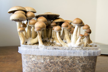 Psychedelic magic mushrooms growing at home, cultivation of psilocybin mushrooms in cake