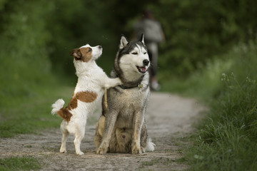 Two dirty dogs: Siberian Husky, Jack Russell Terrier