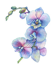 The branch of blossoming tropical blue flower orchid (Phalaenopsis orchid, Dendrobium). Floral art. Close up hybrid orchid. Hand drawn watercolor painting illustration isolated on a white background.