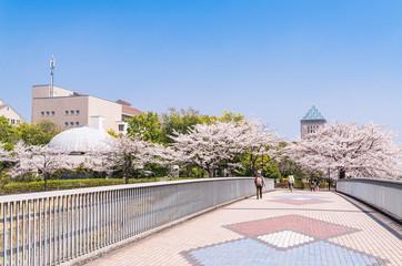 ニュータウンの桜並木