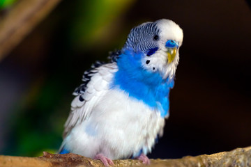 Close-up of a young beautiful blue-white parrot  or melopsittacus undulatus perched on a wooden branch