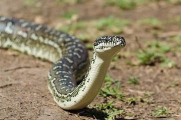 Australian Snake - Diamond Python (Morelia Spilota)