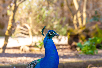 Peacock head closeup in open air