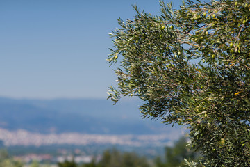Olive tree on the background of the Greek city of Vergina