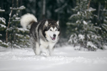 Wall Mural - Alaskan Malamute in nature