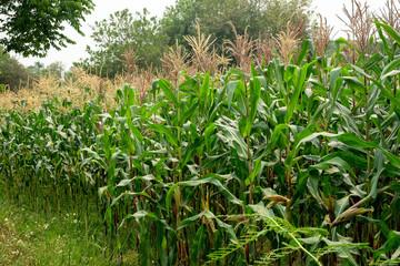 green field of corn growing up in farm