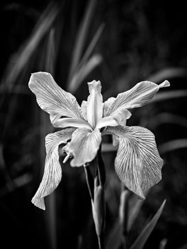 Iris in a Swamp Blooming B&W