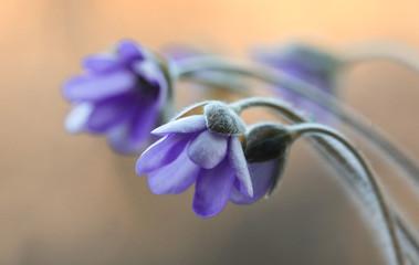 Leinwandbilder - Przylaszczki fioletowe