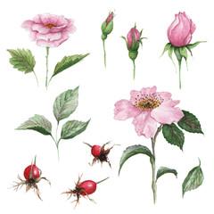 Watercolor botanical illustration of dogrose. Medicinal plant. Floral set of pink flowers, buds, leaves and fruits.