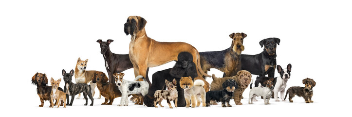 Large group of purebred dogs in studio against white background