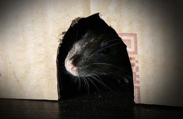 gray rat peeking out