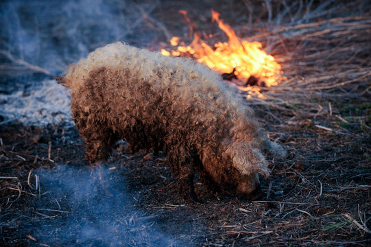 White hairy pig boar Hungarian mangalitsa breed, looking for food next to the burning reed.