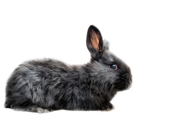 Black oryctolagus cuniculus domesticus - flemish Giant rabbit breed - full body isolated on white background