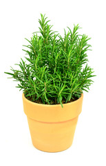 Rosemary Tree in Terracotta Pot on white background.