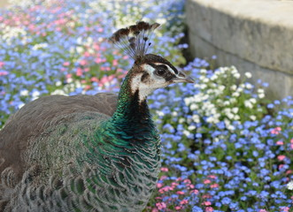Female peacock between flowers