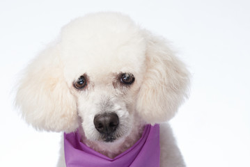 Groomed head of white poodle