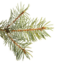 part of the spruce branch. isolated on white background