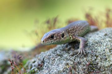 Sand lizard - Lacerta agilis