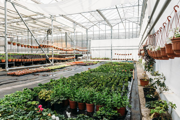 Inside modern greenhouse or hothouse for cultivating and growing flowers and plants. Organic agriculture