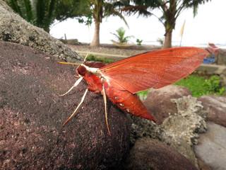 Schwärmer (Sphingidae spec.) sitzt auf einem Stein