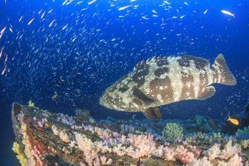 Marbled Grouper fish and manta ray