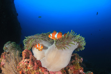 Clownfish. Clown Anemonefish and anemone on coral reef