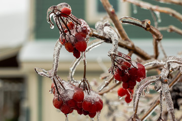 Berries frozen in ice