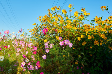 The beautiful october - cosmos is in full bloom.