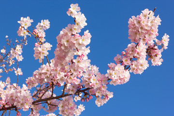 Flowers abundance on a cherry tree branch against a clear blue sky. Close-up of delicate pink cherry flowers on a blue background.