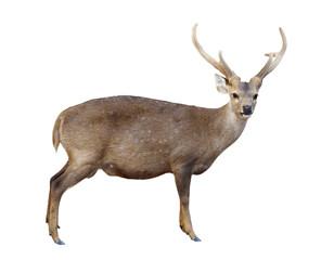 Printed roller blinds Deer male hog deer isolated