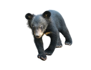 young asiatic black bear isolated