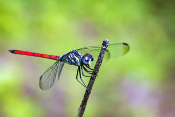 Image of dragonfly perched(Lathrecista asiatica)on a tree branch. Insect, Animal.