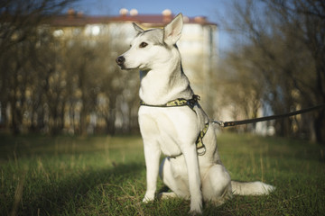the husky dog sits on a green glade