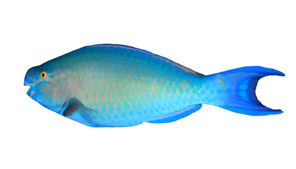 Parrotfish tropical fish isolated on white background