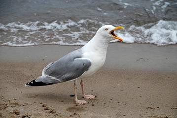 Seagull at the Baltic Sea, Germany