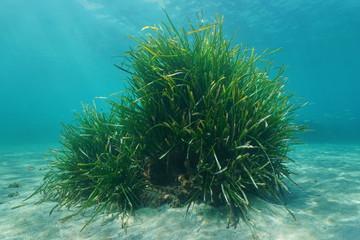 Posidonia oceanica Neptune grass tuft underwater sea, Mediterranean, Balearic islands, Ibiza, Spain