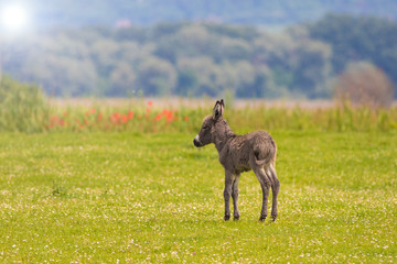 Brown Baby donkey on the floral meadow in spring