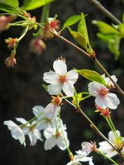 散り始めた桜の花
