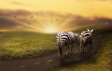 Zebras on the way