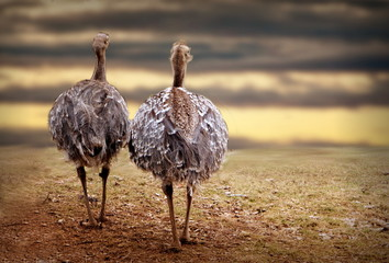 Two ostriches in nature