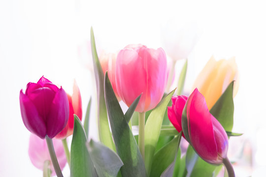 Multicolored spring tulips on a white background.