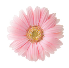 Light pink Gerbera flower isolated on white background.